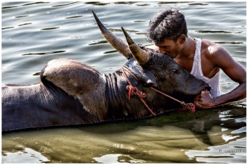 Jallikattu And After: Efforts To Breed Indigenous Cattle Gain Momentum